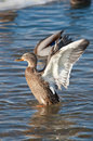 Free Grey Duck In River Winter Sunny Day Stock Photography - 18780782
