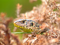 Free Sand Lizard Stock Photography - 18786672