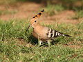 Free Hoopoe In The Grass Royalty Free Stock Image - 18789186
