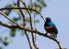 Free Superb Starling Royalty Free Stock Images - 18781809