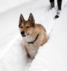 Hunting Dog. Winter Royalty Free Stock Image