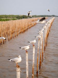 Free Seagulls Hold On Bamboo In Sea , Thailand Royalty Free Stock Images - 18785419