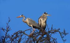 Free Grey Herons On The Top Of A Tree Stock Image - 18788231