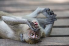 Free Monkey Tongue Stock Photography - 18789602