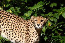 Free Cheetah Stock Images - 18790014