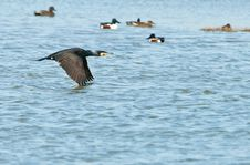Free Great Cormorant Flying Over The Water Royalty Free Stock Photo - 18790975