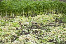 Free Celery Royalty Free Stock Photo - 18793945