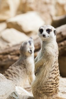 Free Meerkat Standing With Tail Stock Image - 18794511