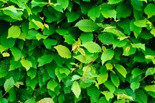 Free Green Vegetative Fence Royalty Free Stock Photography - 18795137