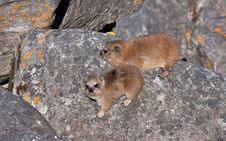 Free Rock Hyrax Stock Photography - 18795222