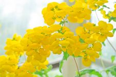 Calceolaria In A Greenhouse Stock Images