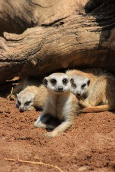 Free Meercat Mother With Kids Royalty Free Stock Photography - 18797547