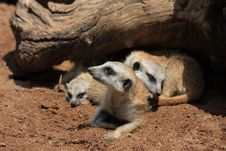 Free Meercat Close-up Stock Image - 18797551