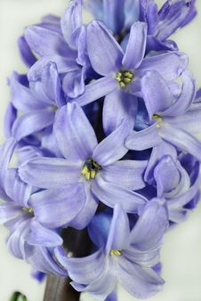 Free Common Hyacinth Stock Photography - 18797792