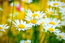 Free Field Of Daisies. Royalty Free Stock Image - 18798736