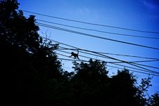 Little Monkey Walking On Electric Wires Stock Image