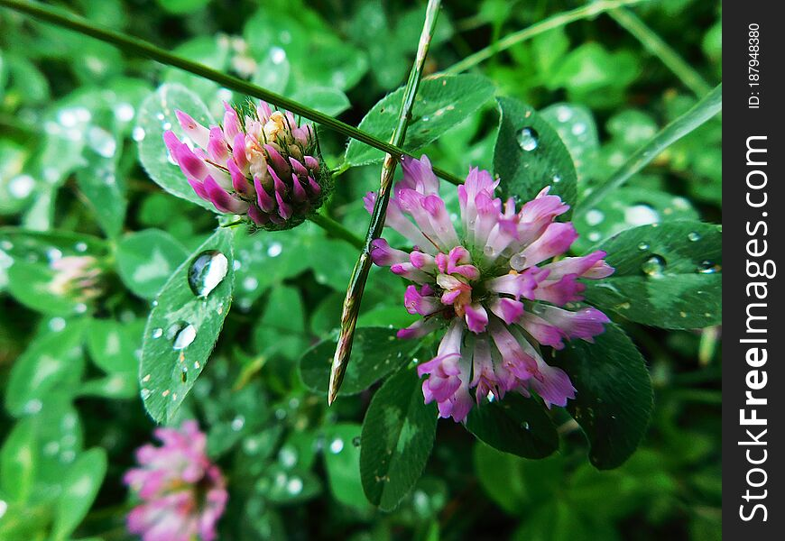 Rainy day on a meadow with raindrops that washes the leaves and flowers of clover
