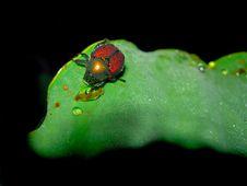Free Dew Drinking Bug Royalty Free Stock Photos - 1880498