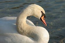 Free Swan Royalty Free Stock Image - 1882316