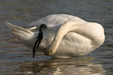 Free Swan Claning Itself Stock Photography - 1882372