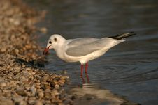 Free River Seagull Stock Images - 1882374