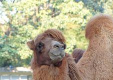 Free Camel Royalty Free Stock Photo - 1883505