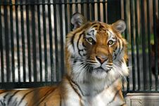 Free Prisoner Tiger Royalty Free Stock Images - 1887879