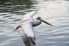 Free Flight Of White Pelican Stock Photo - 1888860