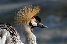 Free Crowned Crane Stock Photos - 1889003