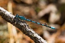 Free Blue Dragonfly On Branch Royalty Free Stock Photos - 1889508