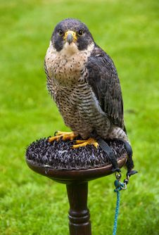 Free Peregrine Falcon Royalty Free Stock Photos - 18804068