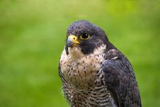 Free Peregrine Falcon Stock Photos - 18804073