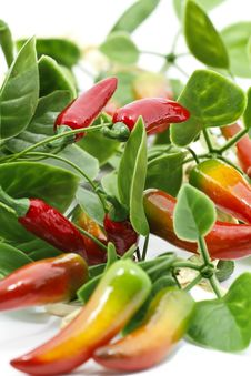 Free Chilli Peppers Stock Photos - 18804913