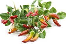 Free Chilli Peppers Stock Image - 18804941