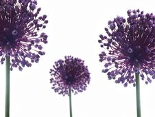 Free Allium Giganteum Stock Photography - 18806612