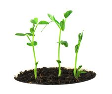 Free Pea Plant Royalty Free Stock Photo - 18807015