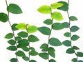 Free Isolated Vine Leaves Royalty Free Stock Photo - 18815605