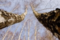 Free Two March Birches On Sky Background Stock Image - 18815771