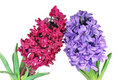 Free Two Hyacinth Stock Image - 18819471