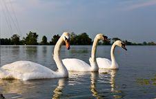 Free White Swans Stock Photos - 18812133