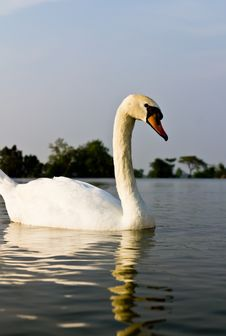 Free White Swan Royalty Free Stock Images - 18812149