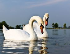 Free White Swans Royalty Free Stock Images - 18812159