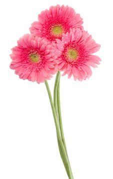 Wet Pink Gerbera Flowers Royalty Free Stock Photography