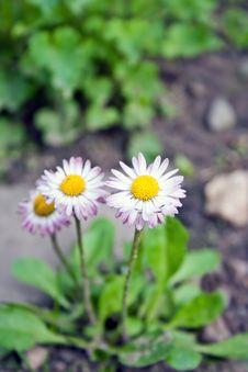 Free Daisy Stock Photos - 18814873