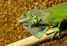 Free A Green Iguana Rests On The Tree Royalty Free Stock Photography - 18814967