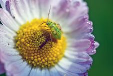 Free Bug On A Flower Stock Photography - 18815002