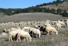 Sheep On A Pasture Stock Photos