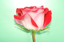 Free Red Rose Royalty Free Stock Images - 18815719