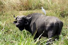 Free Cape Buffalo And Egret Royalty Free Stock Photography - 18815857
