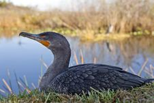 Great Cormorant (Phalacrocorax Carbo) Royalty Free Stock Images